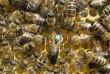Пчёлы. Пчелопакеты. Пчелиные плодные меченые молодые матки. Карпатка