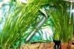 Продам аквариумные растения   Лимонники от 10, 15, 20 грн очень краси фото № 3
