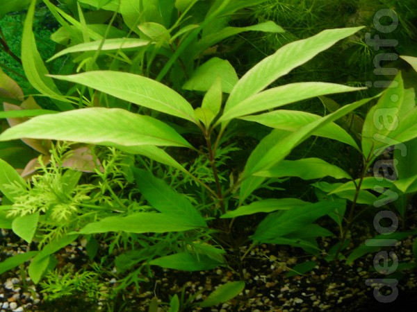 Продам красивые живые аквариумные растения на передний , средний и за