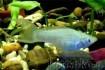 Продам красивых аквариумных  рыбок живородящие не прихотливые- мальки фото № 3