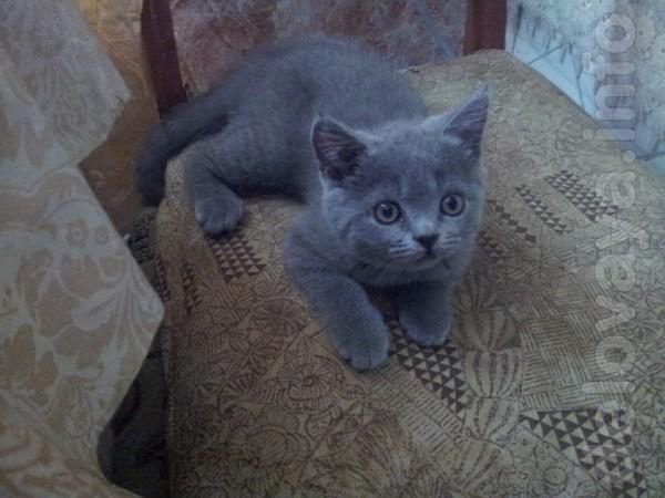 Шотландский котёнок,девочка, родилась 14.04. Приучена к лотку. 150 гр