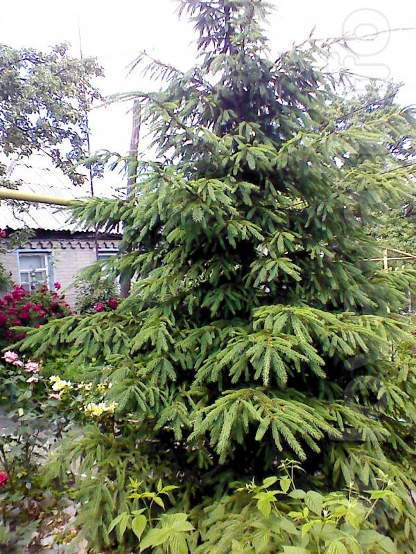 Продам ель зеленая высота около 4,5 метров примерно ей 14 лет. Цена п