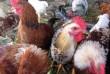 Продам молодых петушков можно на мясо для бульона  цена 160 грн за шт