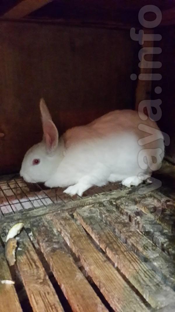 Продаем бройлерную породу кролей Термонская белая ( в чистоте )Европе
